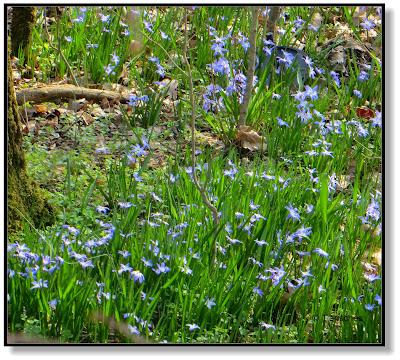 ein Blütenteppich aus Blausternchen im Wald