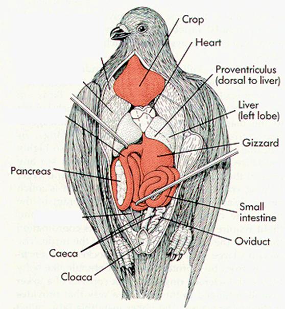 78 Gambar Organ Ekskresi Ginjal