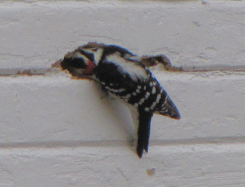 woodpecker on side of building