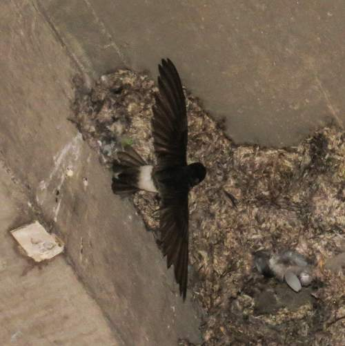 Indian birds - Image of Little swift - Apus affinis