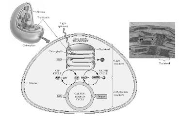 Gambar kloroplas dan keterangannya