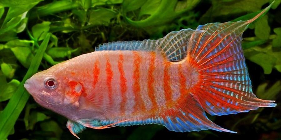 Mengenal Ikan Cupang Paradise