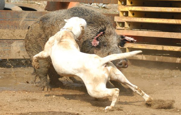 Top 10 Most Dangerous Dog Breeds Be Careful With Them