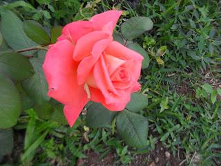 Cuando llegue, me espera esta bella flor que se la regalo a  Virgen Milagrosa y su hijo NAZARENO  de San Pablo Venezuela, Caracas
