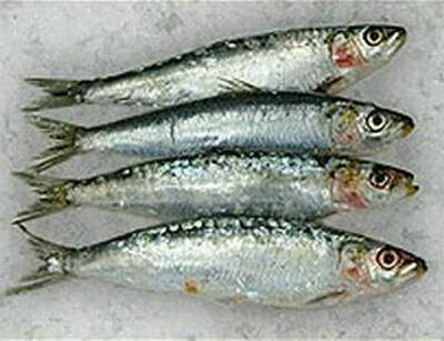 Gambar Ikan Sarden