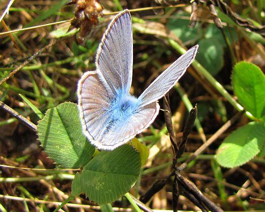 Modraszek ikar (Polyommatus icarus).