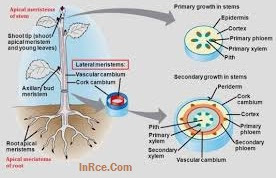 Lateral Meristem Definition and Function