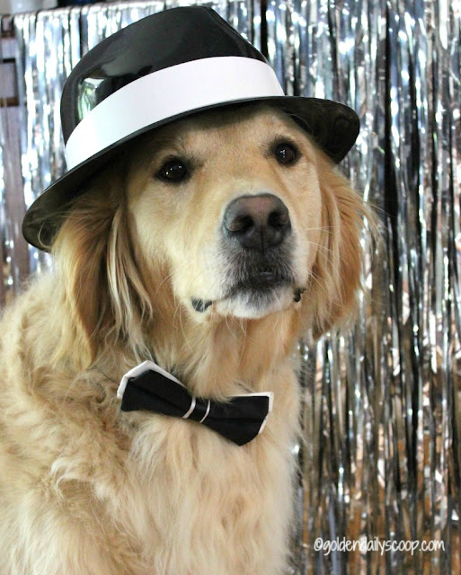 golden retriever dog dressed up in black and white bow tie for fashion week
