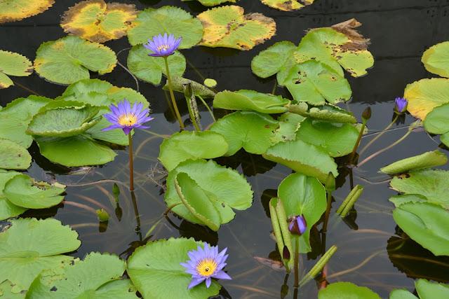 Indigo Pearl Phuket pond