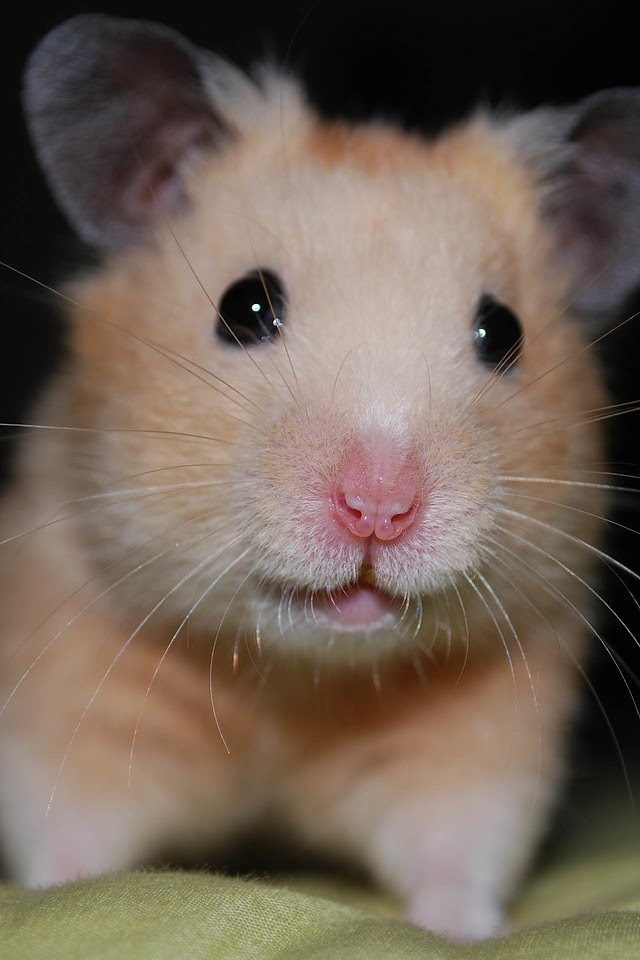 Cute Hamster   Galaxy Note HD Wallpaper