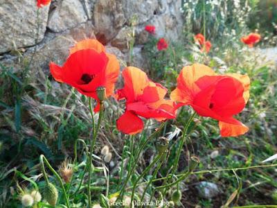czerwone maki Mykonos Grecja