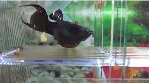 Ikan Black Molly Hamil