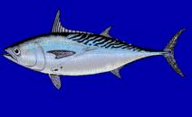 Klasifikasi Dan Morfologi Ikan Tongkol
