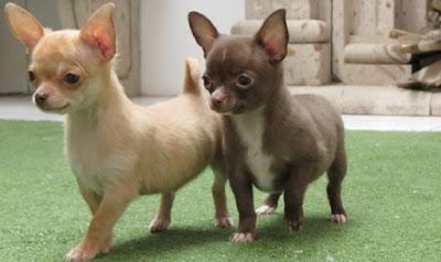 Cuida tu perro Chihuahueño