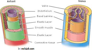 pembuluh arteri dan pembuluh vena pada manusia