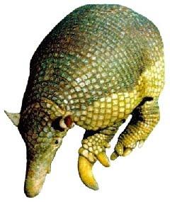 Tatu-Canastra (Priodontes giganteus)