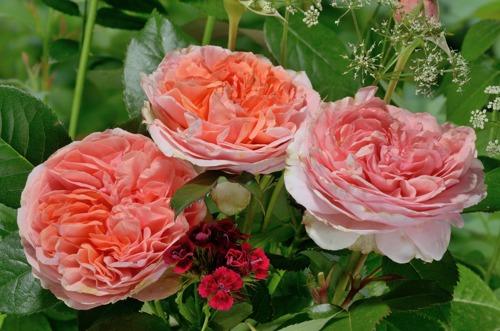 Charles Austin  роза сорт фото