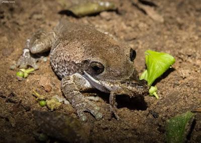 canibalismo, sapos, tocantins, sapo comendo sapo, predação de sapos, pererecas, rãs, frog-eat-frog, frog-on-frog predation,  fotógrafa, fotografa de natureza, natureza, flagra, Blog Natureza e Conservação, Tocantins, Formoso do Araguaia, frog, predação de sapos, anfíbios, Brasil, fotos de sapos, fotos de anfíbios