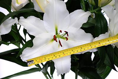 Oriental trumpet hybrid lily
