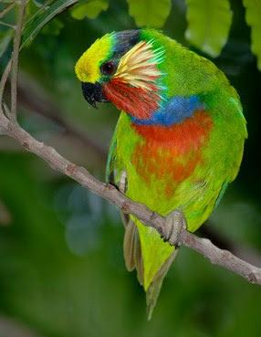 Jenis Burung Serindit Papua