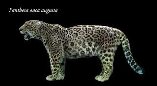 Panthera onca augusta