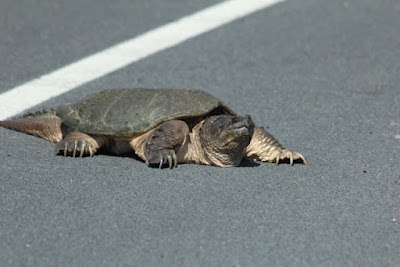snapping turtle on road