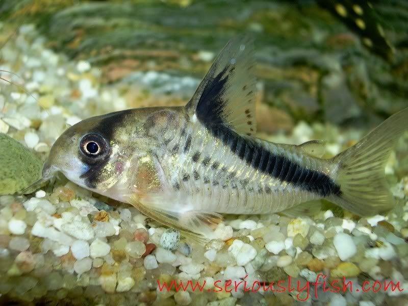 Ikan Aquascape yang Kuat - Corydoras