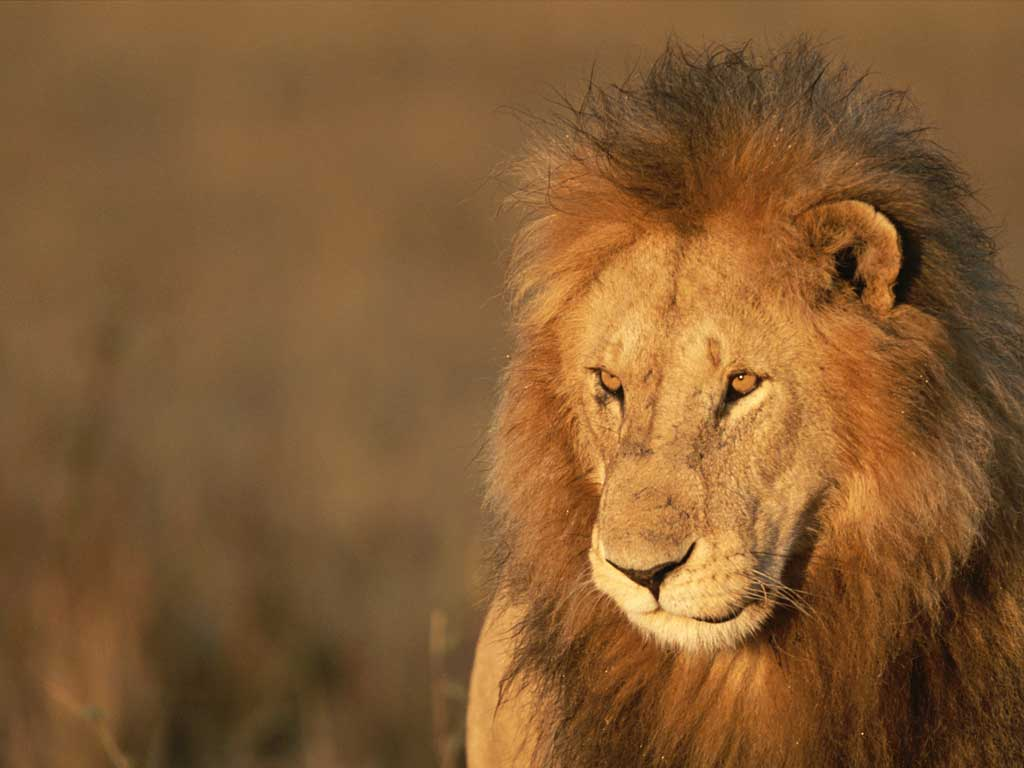 Beautiful Pictures OF Lion In HD | MixoPlanet.com