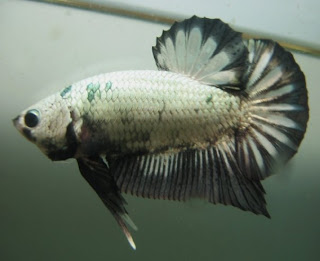 Wallpapers Betta Fish (Ikan Cupang) - Daily Wallpapers