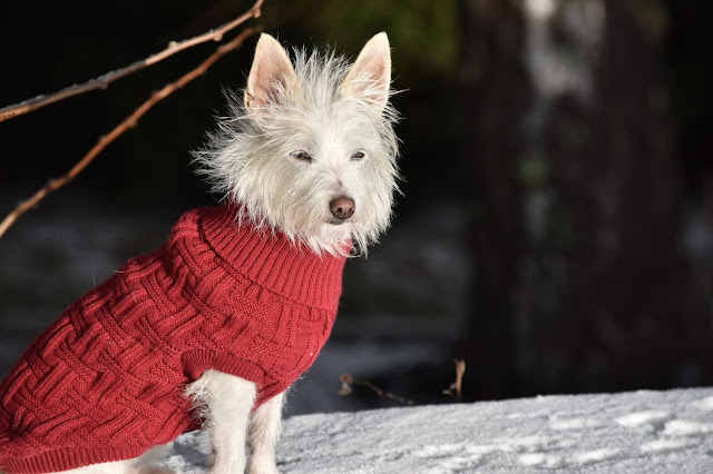dog snow terrier jumper