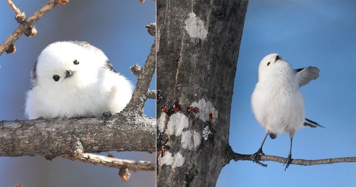 Check Out These Tiny Japanese Birds That Look Like Fluffy Little Cotton Balls!