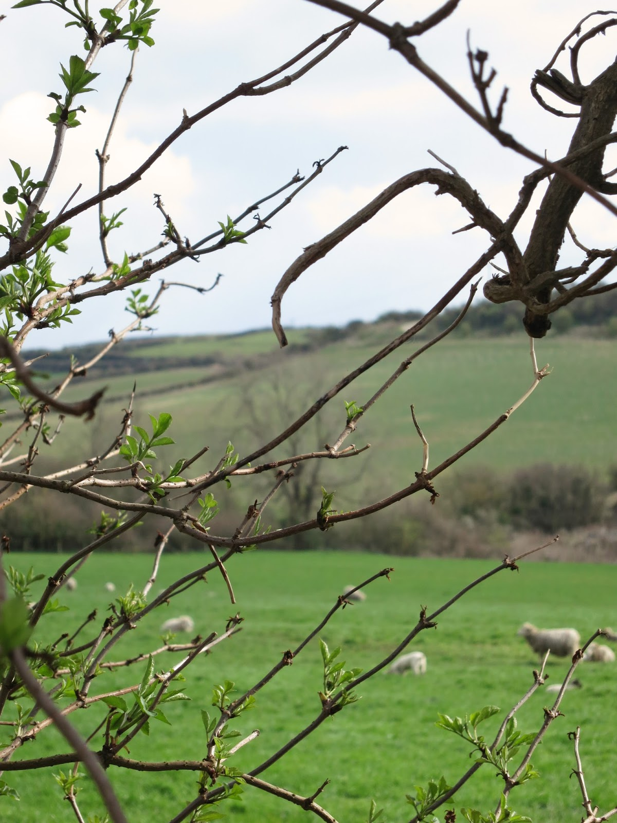 Sheep in a field - glimpsed between branches of tree with opening leaves.