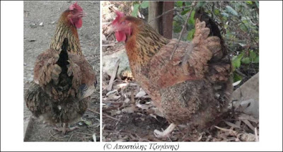 Ντόπια Καφεκόκκινη πιτσιλωτή κότα