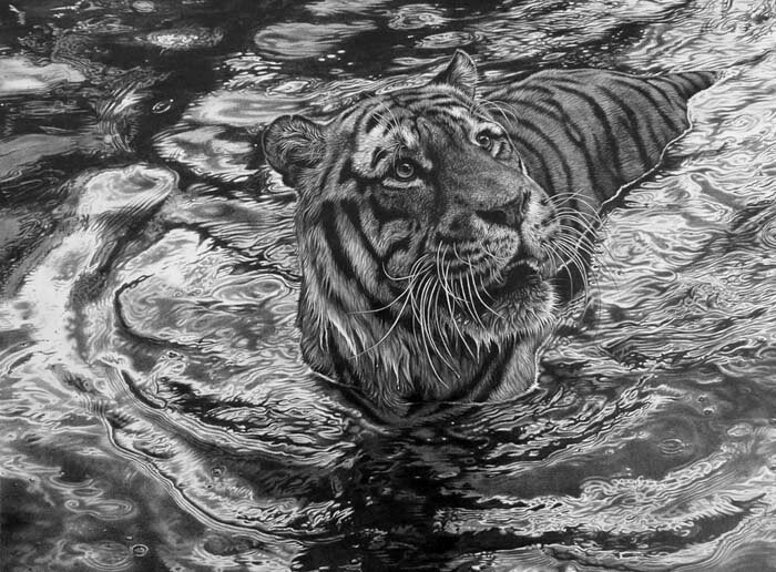 01-The-ripple-effect-Tiger-Julie-Rhodes-Wildlife-Animals-Realistic-Pencil-Drawings-www-designstack-co