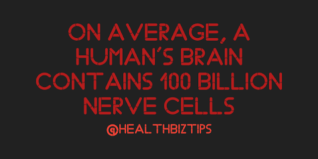On average, a human's brain contains 100 billion nerve cells.