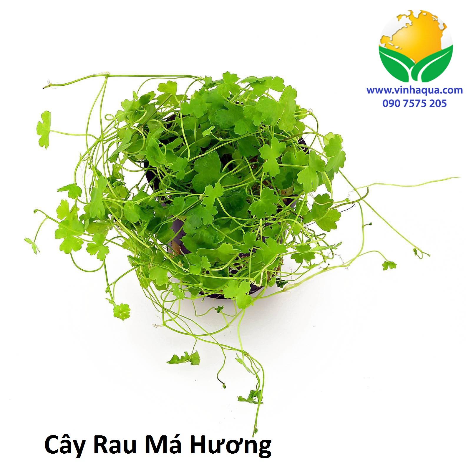 Cây Rau Má Hương được trồng ở vị trí tiền cảnh, trung cảnh trong hồ thủy sinh