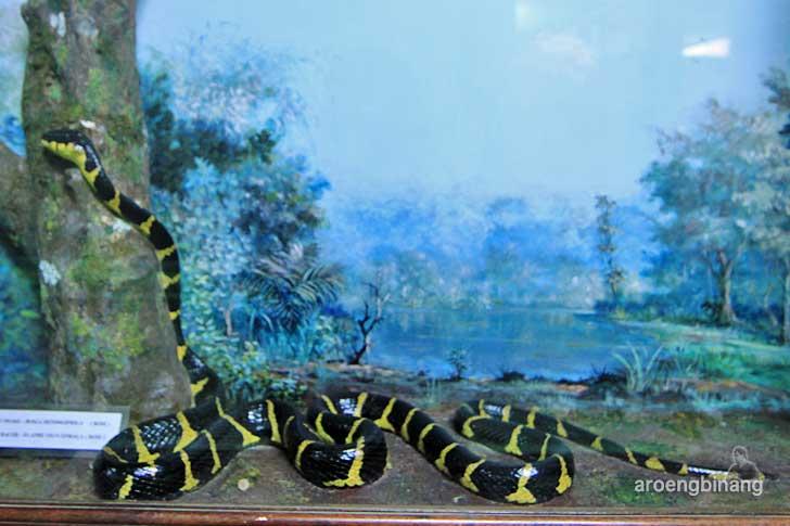 ular welang museum zoologi bogor
