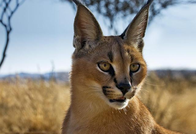 Ágil, esse gato selvagem pode dar saltos de 3 metros de altura e abater aves em pleno voo com a pata. Também conhecido como lince-do-deserto, ou lince-persa, ele habita regiões entre a África e a Ásia.