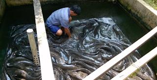 Ikan lele merupakan salah satu jenis ikan  Kabar Terbaru- BUDIDAYA IKAN LELE