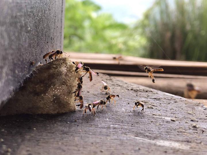 Madu Lebah Kelulut Asli dari Hutan