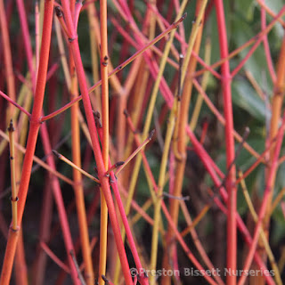 http://www.thenurseries.com/cornus-sanguinea-midwinter-fire-p-3139.html