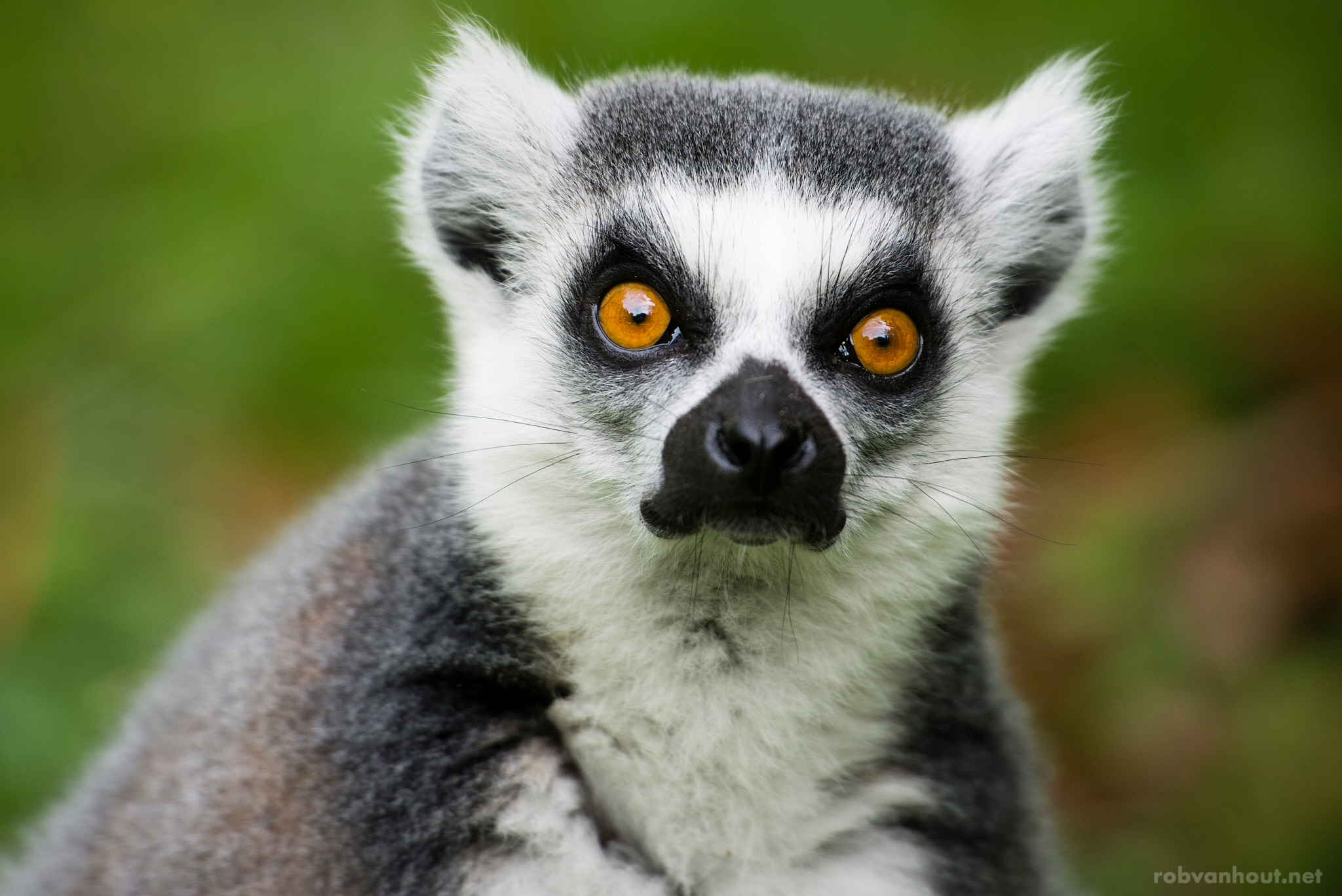 Ring-Tailed Lemur — Zoo Parc Overloon
