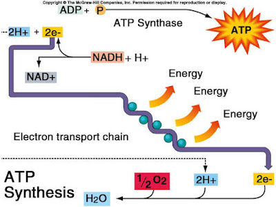 Electron transport chain diagram respiration diagram oxidative phosphorylation ccuart Choice Image