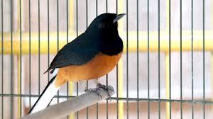 Harga Burung Murai Batu Terbaru Bulan Ini 2018