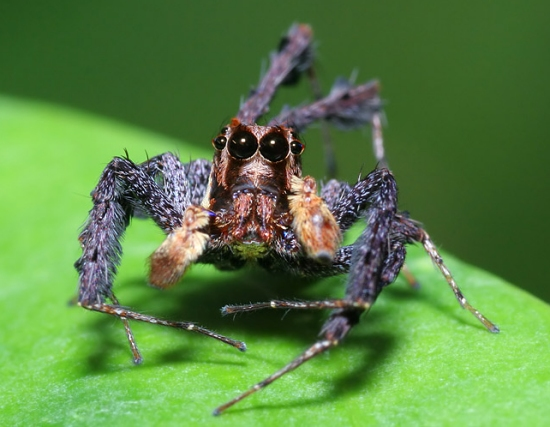 portia spider fun animals wiki videos pictures stories