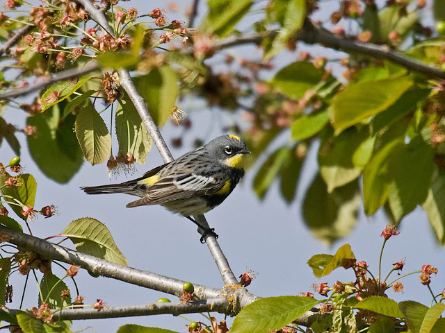 Breeding Yellow-rumped Warbler (Audubon's form)