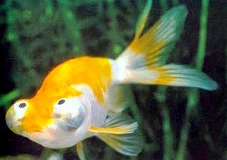 Ikan Mas Koki Celestial Eye