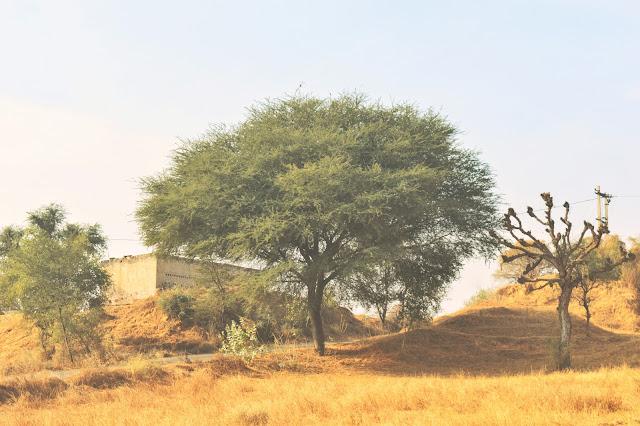 Alsisar Mahal, Alsisar royal family, alsisar palace, pilani,desert, rajasthan,Teent,kikar,Beri