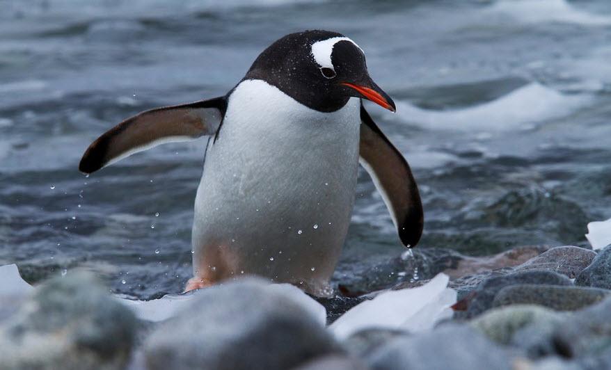 gentoo penguin animal you gentoo penguin
