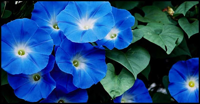 Morning Glory Flowers: How It Benefits Our Health